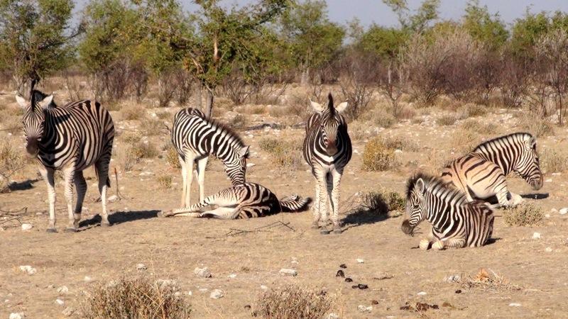 Zebras müde in der Sonne