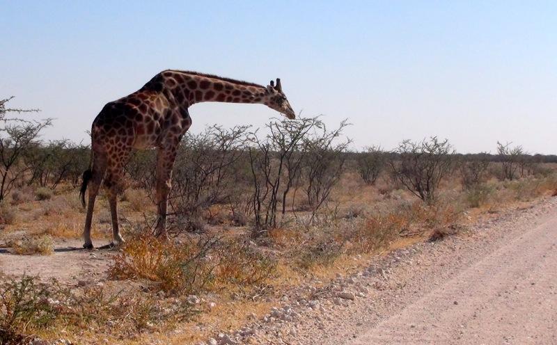 Giraffe zum greifen Nahe