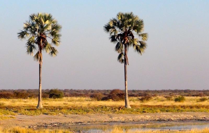 Löwe unter Palmen