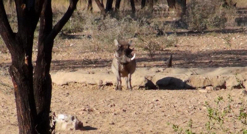 Ein Warzenschwein vor unserer Hütte