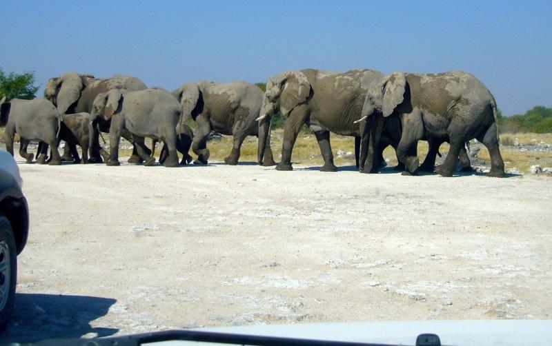 Elefanten ziehen dicht an unserem Auto vorbei